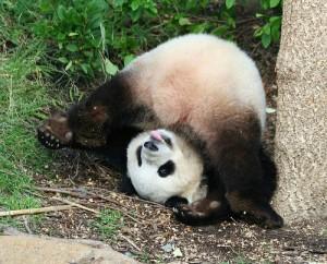 """Dame Panda peut témoigner: """"Il est mignon mais il est un tout petit peu con""""."""